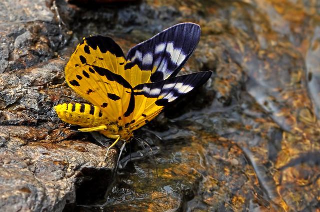 Dysphania militaris - the False Tiger Moth