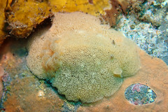 クモガタウミウシ属の一種 2