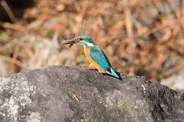 20171125-kingfisher-DSC_8857