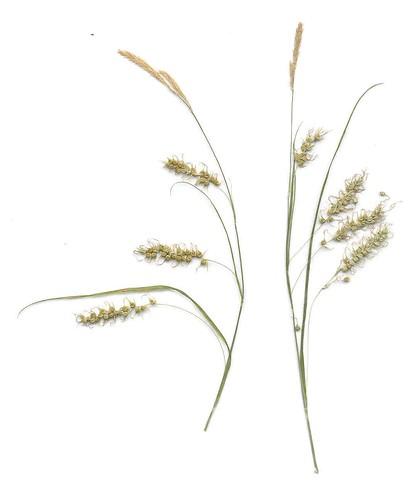 Carex sprengelii