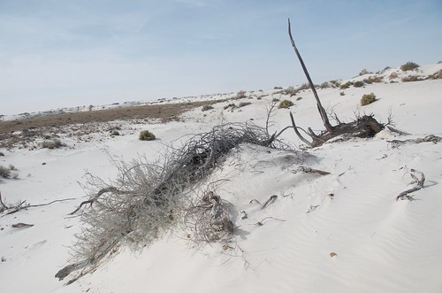 White Sands fallen tree