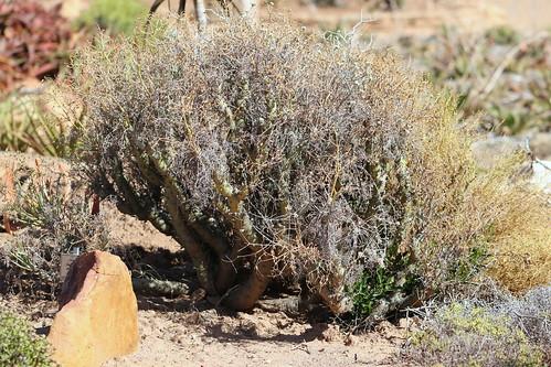 Pelargonium paniculatum