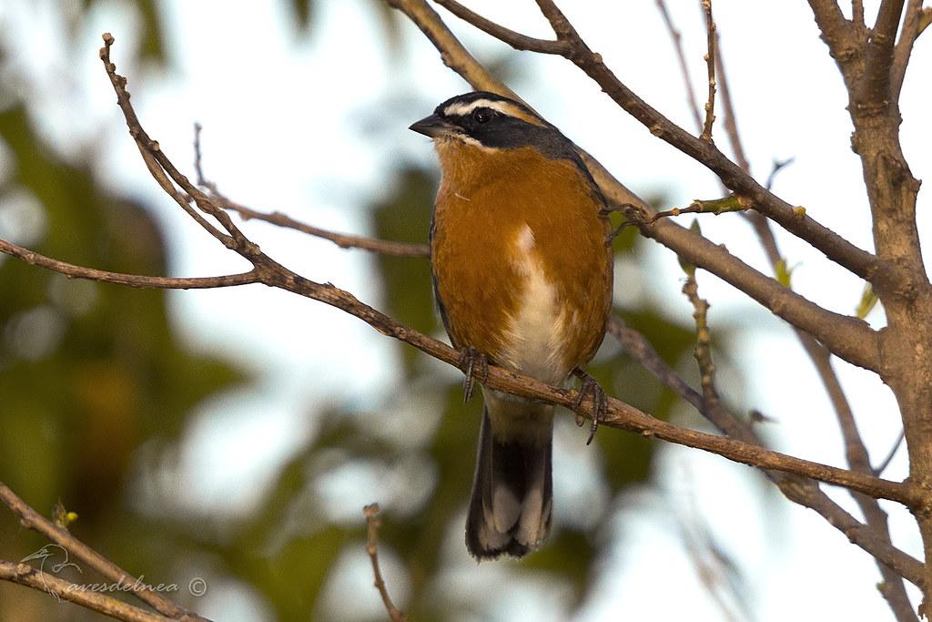 Sietevestidos común (Black-and-Rufous Warbling-Finch) Poospiza nigrorufa