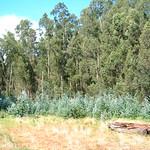 Eucalyptus globulus spreading