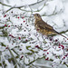 Mistle Thrush and Hawthorne Berries