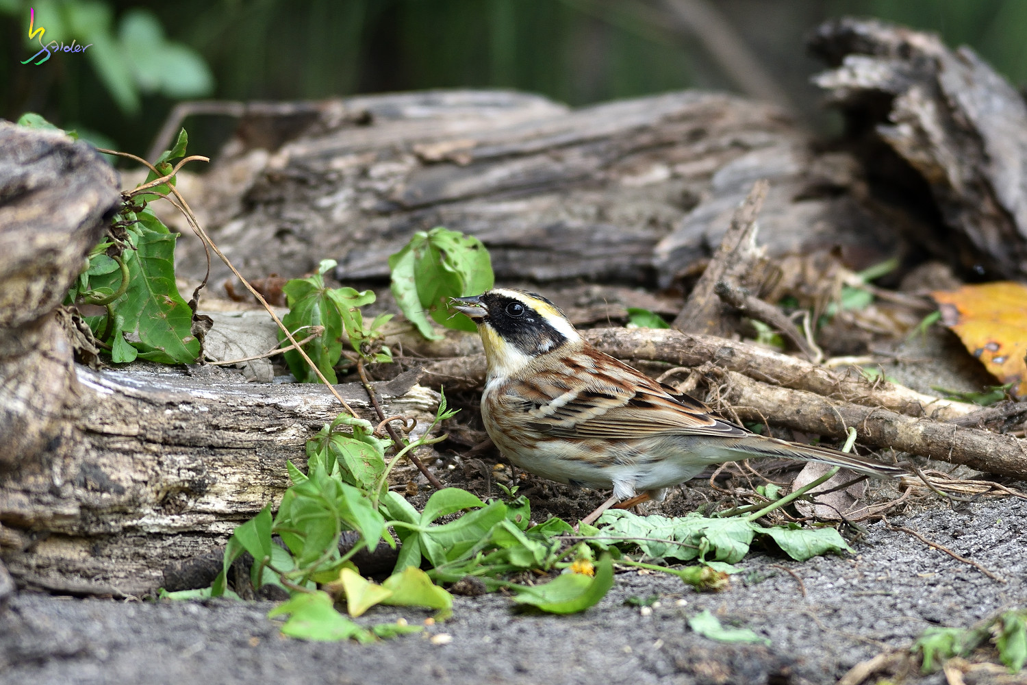 Yellow-throated_Bunting_4414