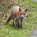 Fox in Sweyne Park, Rayleigh, Essex