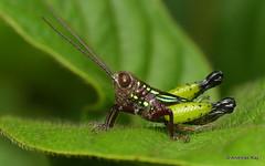 Grasshopper, Pseudonautia sp.