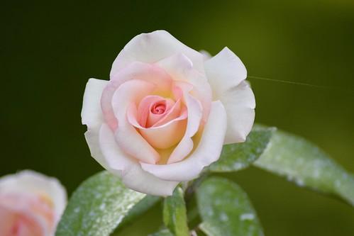 Rosier hybride de thé / Hybrid tea rose
