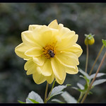 Yellow dahlia with snoozing bee