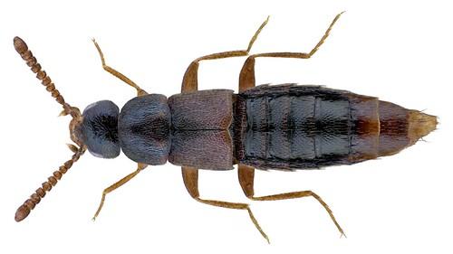 Pycnota paradoxa (Mulsant & Rey, 1861)