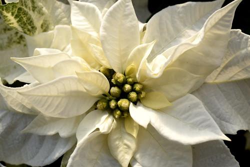 Princettia Pure white (new in 2017)