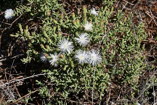 Header of noctiflora