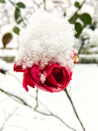 🌹 winterwunderland