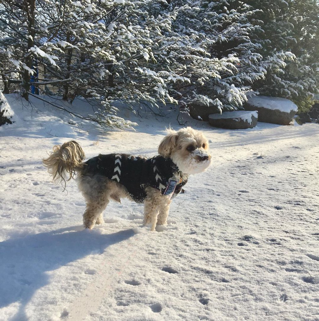 Rocky used one of our winter safety tips and wore a sweater on his snowy walk.