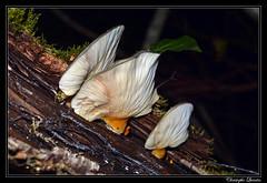 Pleurote tardif (Sarcomyxa serotina)