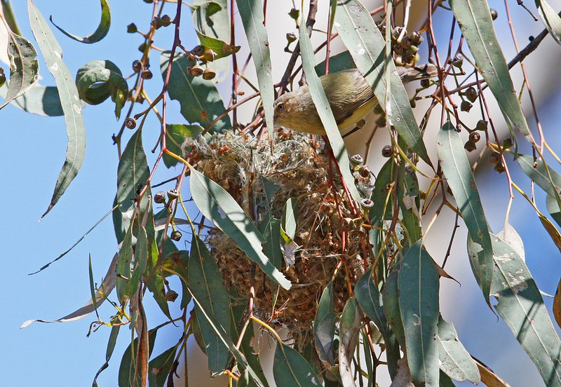 Weebill at nest