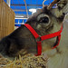 Reindeer   PB270879sm