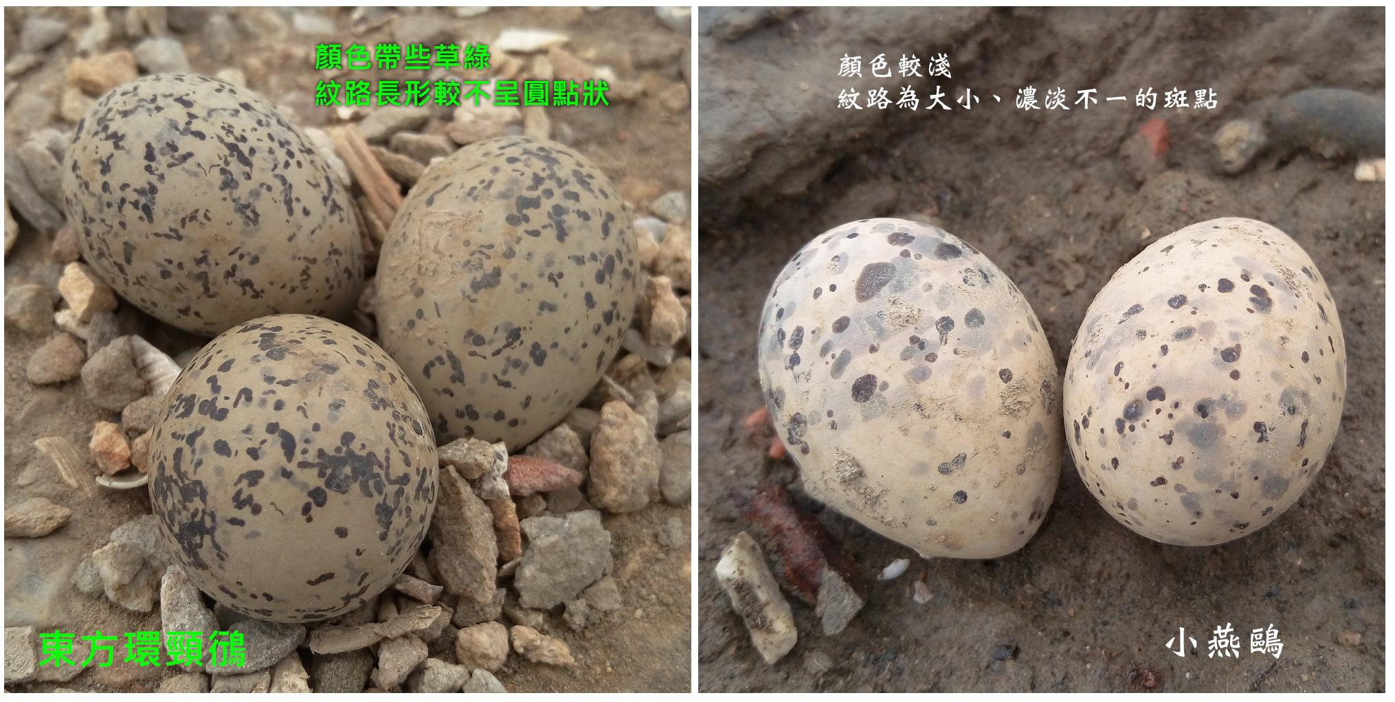 egg-plover-tern
