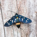 Nine-spotted Moth (Amata phegea)