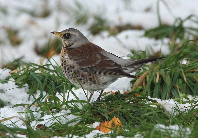 Fieldfare - Apple Scrumper!