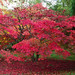 Autumn colours of Westonbirt: Red