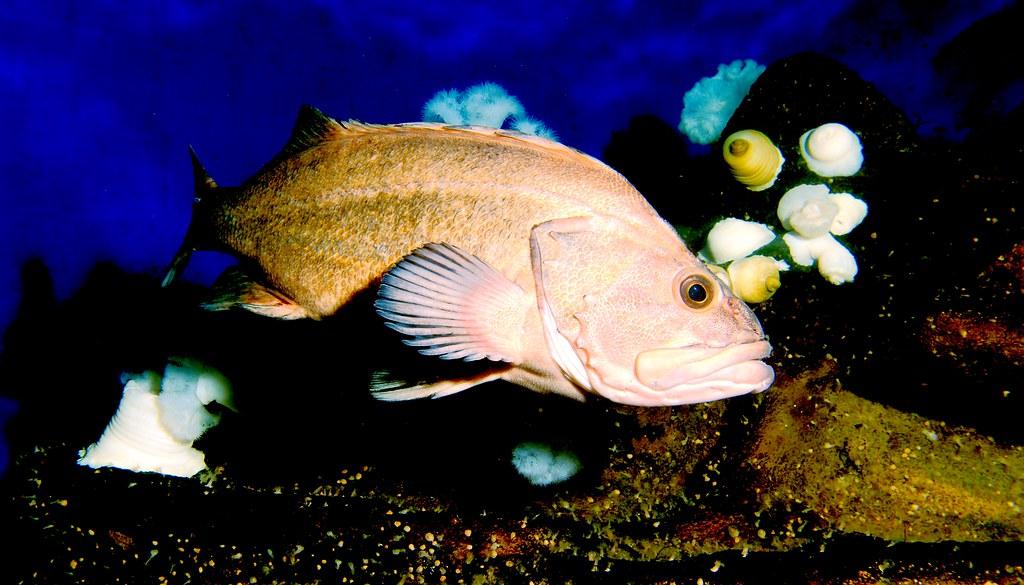 Rockfish_1