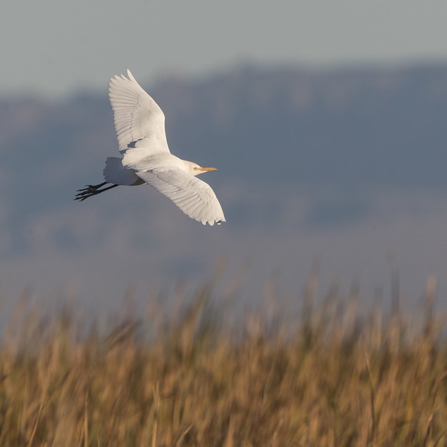 Cattle Egret at the Salton Sea