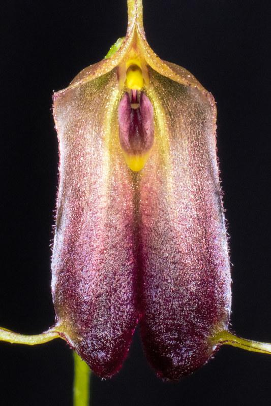 Miniatur-Orchideen Teil 4 - Seite 5 38322628132_544e126e95_c