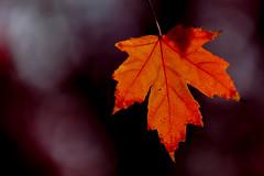 canada-fall-maple-leaf-57571_20141019_GK.jpg