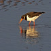 Oystercatcher and Snack
