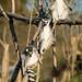 Sunbathing lemurs