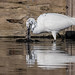 Little Egret - Widewater (30)