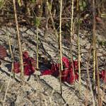 Red+Vine+behind+Lines