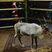 Reindeer    PB270878smsq