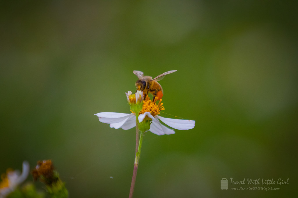 Bee on the flower, Hong Kong Wetland Park