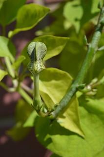 DSC_6259 Ceropegia stapeliiformis ssp. serpentina セロペギア スタペリフォルミス