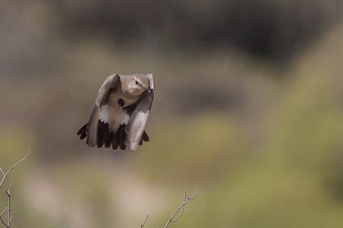Isabelline Wheatear taking off