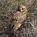 Short-eared Owl by Jeff Bray
