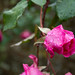 20171118-09a_Late Flowering Roses - Baddesley Clinton