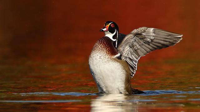 Canard branchu \ Wood Duck
