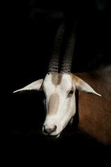 Oryx dammah - Scimitar-horned Oryx