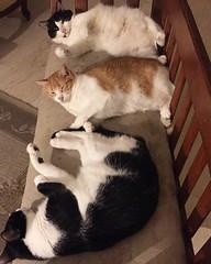 """¿Qué esperan? 324/365 #project365 #noviembre #november #2017 Sí, sí, sí. Muy lindos los tres pero paren las narguitas de ahí que """"echaos"""" no me van a reponer el vidrio de la mesa. 🐱🐱🐱 #han #leia #lancelot #cats #gatos #rescues #rescued #rescat"""