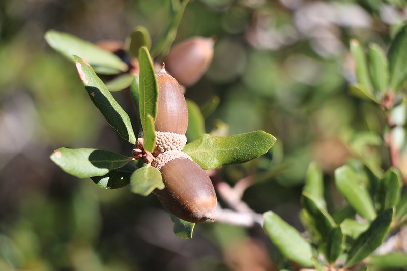 Ripe Live Oak acorns on the Upper Descanso Creek Trail