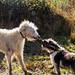Teddy and Ollie play tug