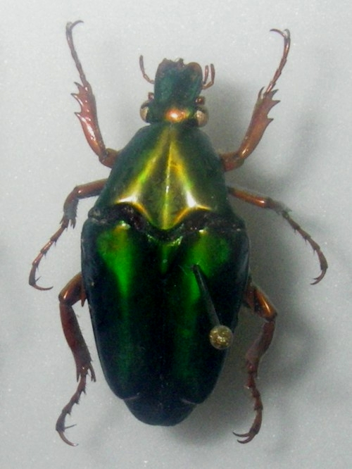 Chalcothea smaragdina 37981281565_4f90c13726_o