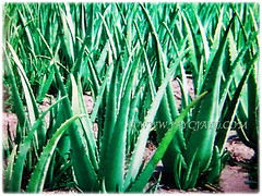 Numerous Aloe vera (Chinese/Indian Aloe, True Aloe, Barbados Aloe, Burn/Medicinal Aloe, First Aid Plant) plants growing wild on the ground, 3 Nov 2017