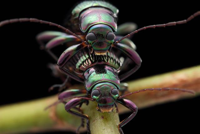 IMG_3732 Mating darkling beetles! HHD & HIHD!