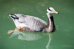 Goose in the Water