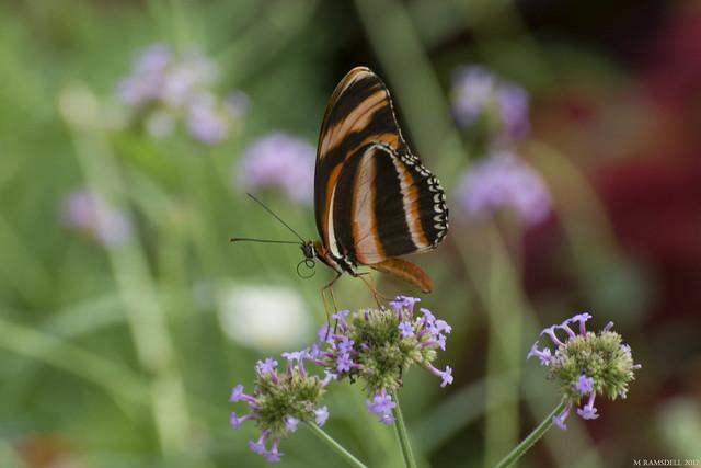Butterfly 2017-174